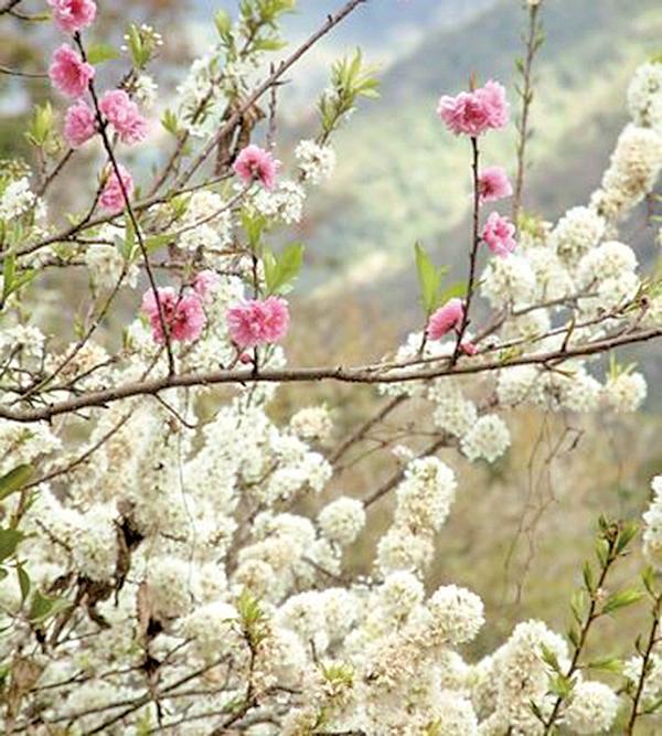 桃源梅山村邀您一起體驗交相輝映的「桃花紅、李花白」(玉山國家公園管理處提供)