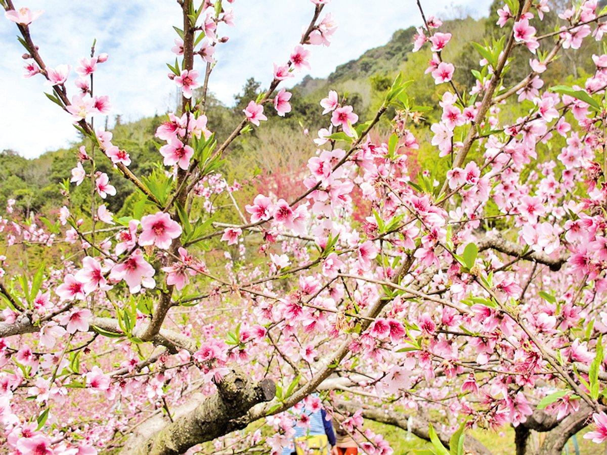 盛開的桃花(攝影:廖素貞/大紀元)