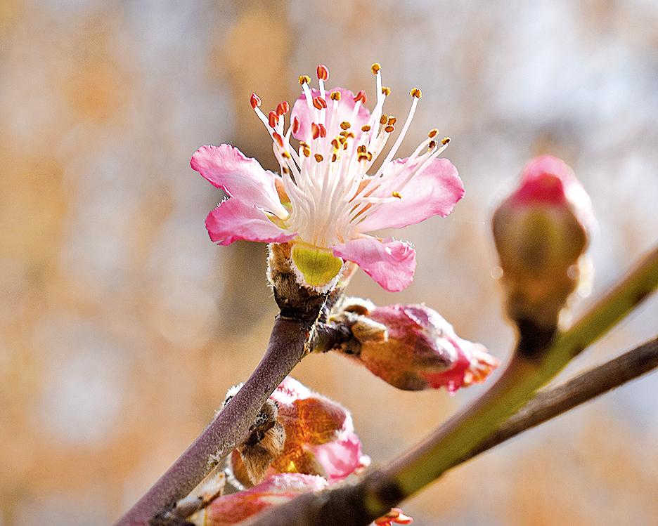 在中國的文化環境裏,桃樹、桃花、桃兒,有著不同的意境(公有領域)
