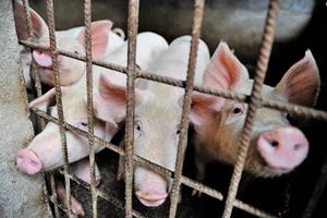 非洲豬瘟 全國僅剩海南未傳疫情