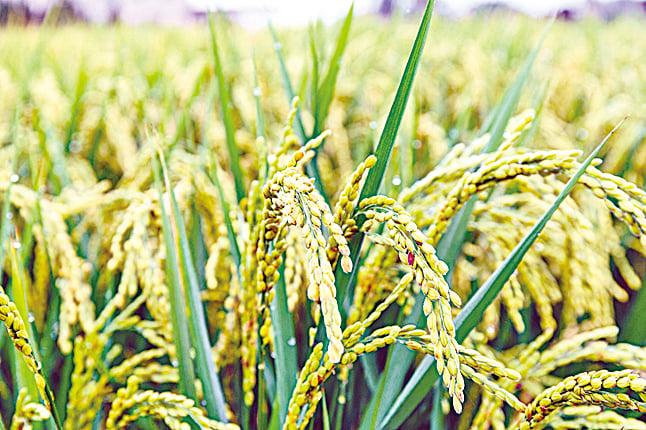 在傳統年代,稻米是人們重要的主食。