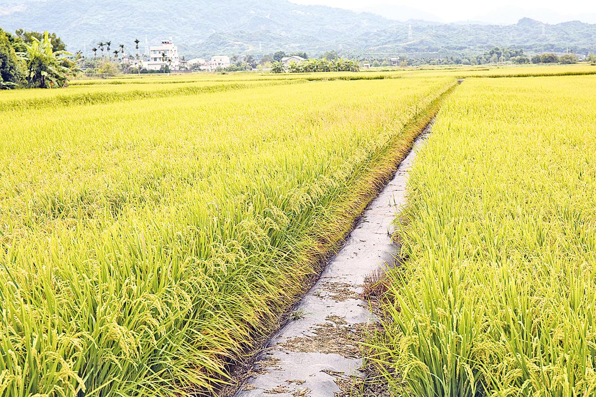 台灣稻田景致,金黃飽滿的稻穗迎風搖曳。