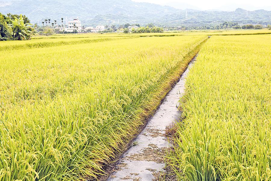 失落的台灣米食文化 農人尋回飯香