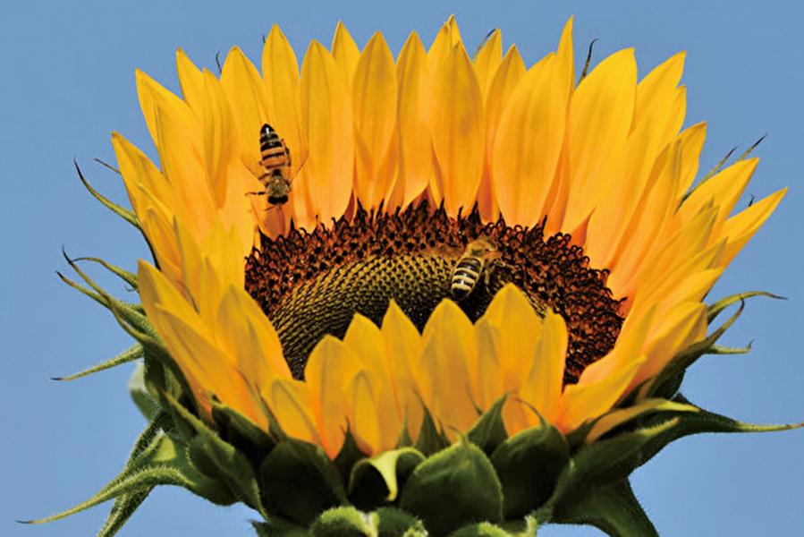 罕見照片:兩隻蜜蜂依偎在花朵裡睡覺