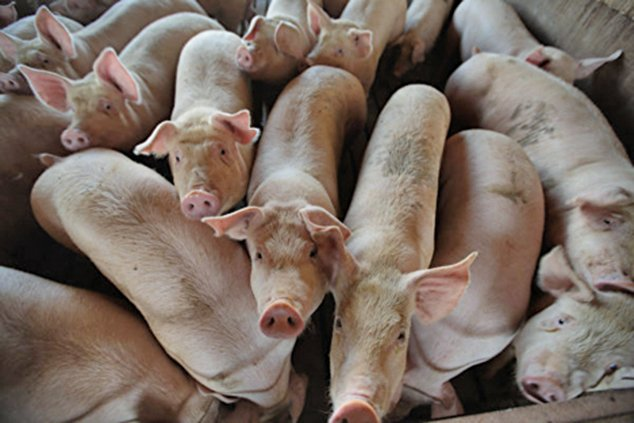 截至目前,非洲豬瘟疫情在31個省市自治區爆發,中國大陸全面淪陷。 (Getty Images)