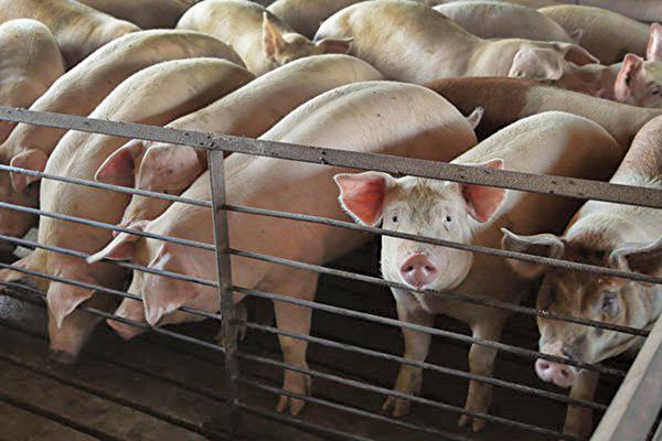 受非洲豬瘟衝擊,大陸豬肉價一年來大漲46%。(Scott Olson/Getty Images)