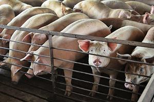 非洲豬瘟影響 大陸豬肉價一年大漲46%