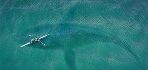 海裏彪悍的白鯊最怕甚麼?