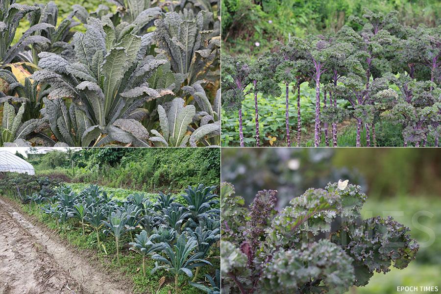 農場種植了多個品種的羽衣甘藍。(陳仲明/大紀元)