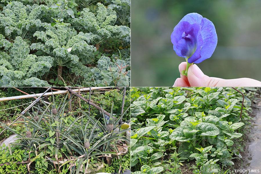 在農場中,盧祖旭根據時令節氣,種植了不少有機蔬果。(陳仲明/大紀元)