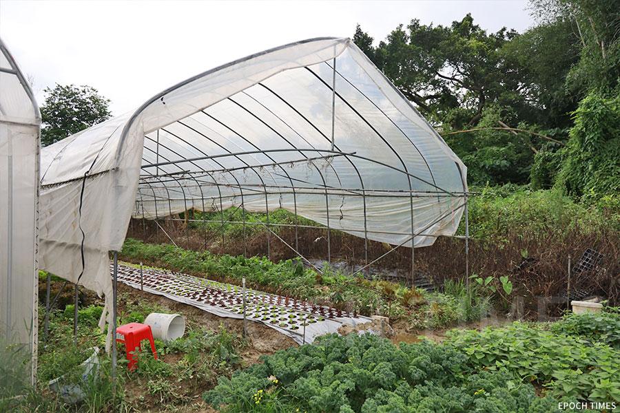 「山竹」颱風吹壞了溫室棚架,農場重新搭建起新棚架。(陳仲明/大紀元)