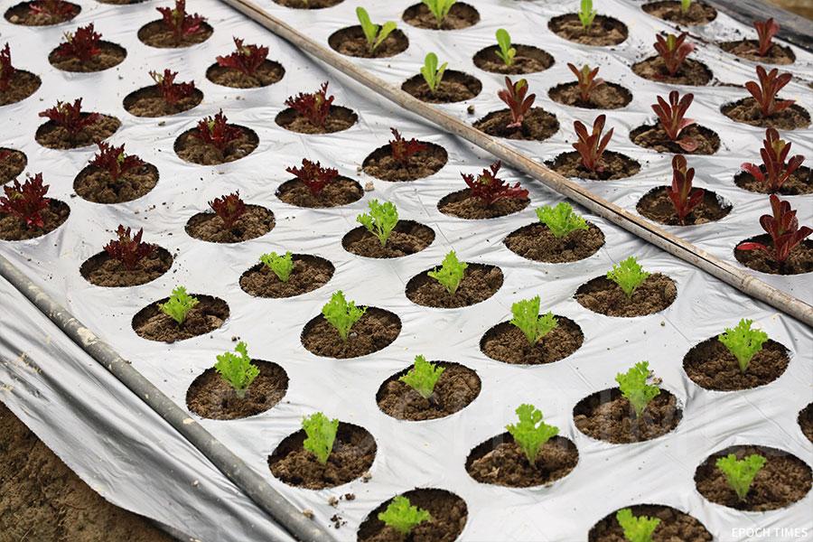 沙律菜是農場的招牌之一,圖為培育中的沙律菜。(陳仲明/大紀元)