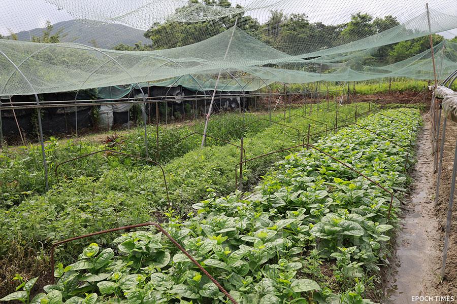 農場佔地七萬平方呎,種植有五十多種的蔬菜。(陳仲明/大紀元)