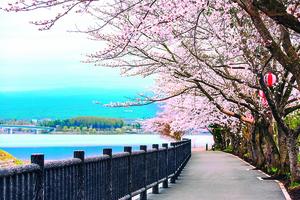 【心靈陽光】櫻花之美