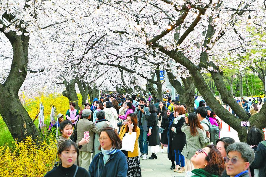 韓國 櫻花怒放 慶典熱鬧