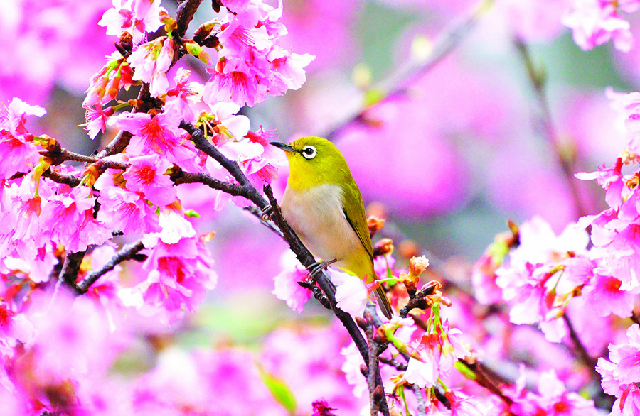 台灣 櫻花海中的綠繡眼