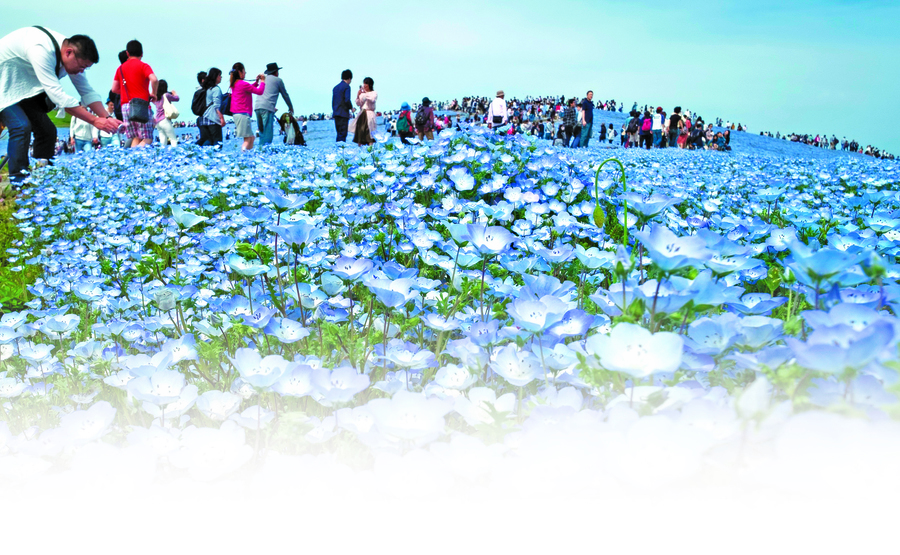 日本 粉蝶花開 夢幻藍海