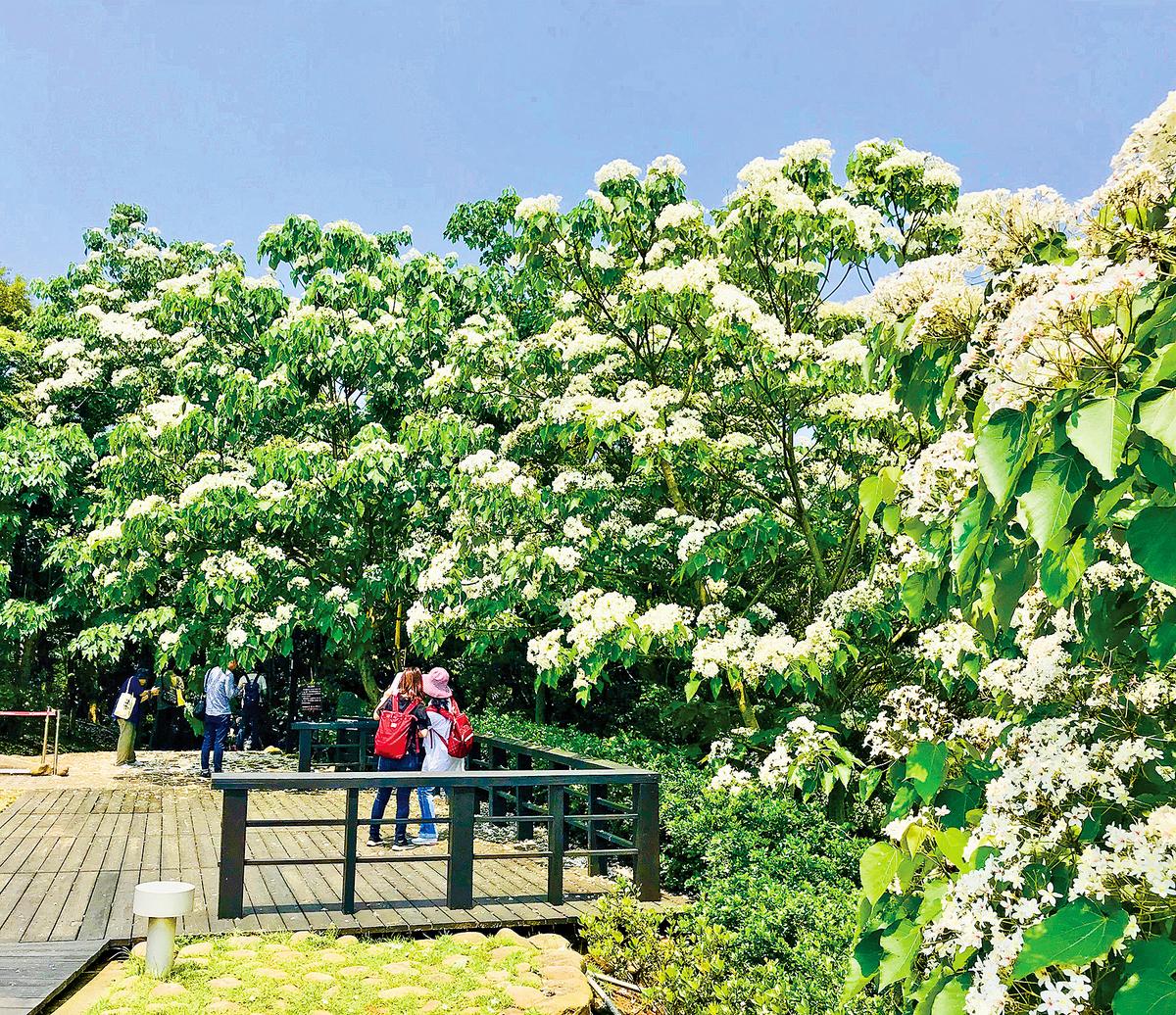 「好客公園」入口的桐花。