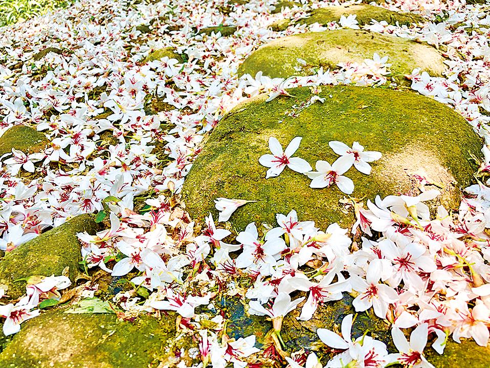 飄落地的桐花,那白皙花瓣襯著酒紅花心,嬌豔欲滴。