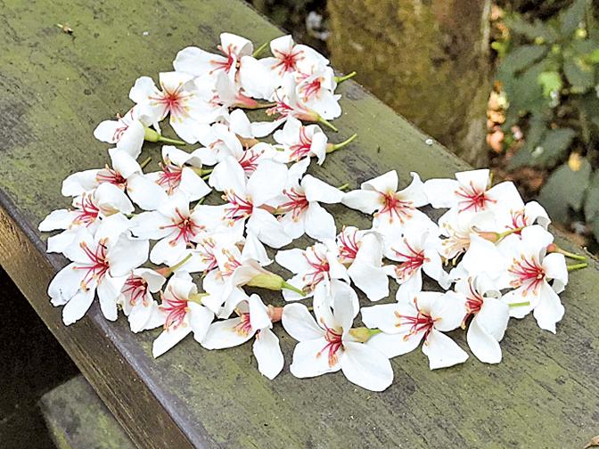 遊客用心排的心形桐花。