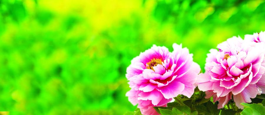 【花意詩心】牡丹花 卓然風骨洛陽花
