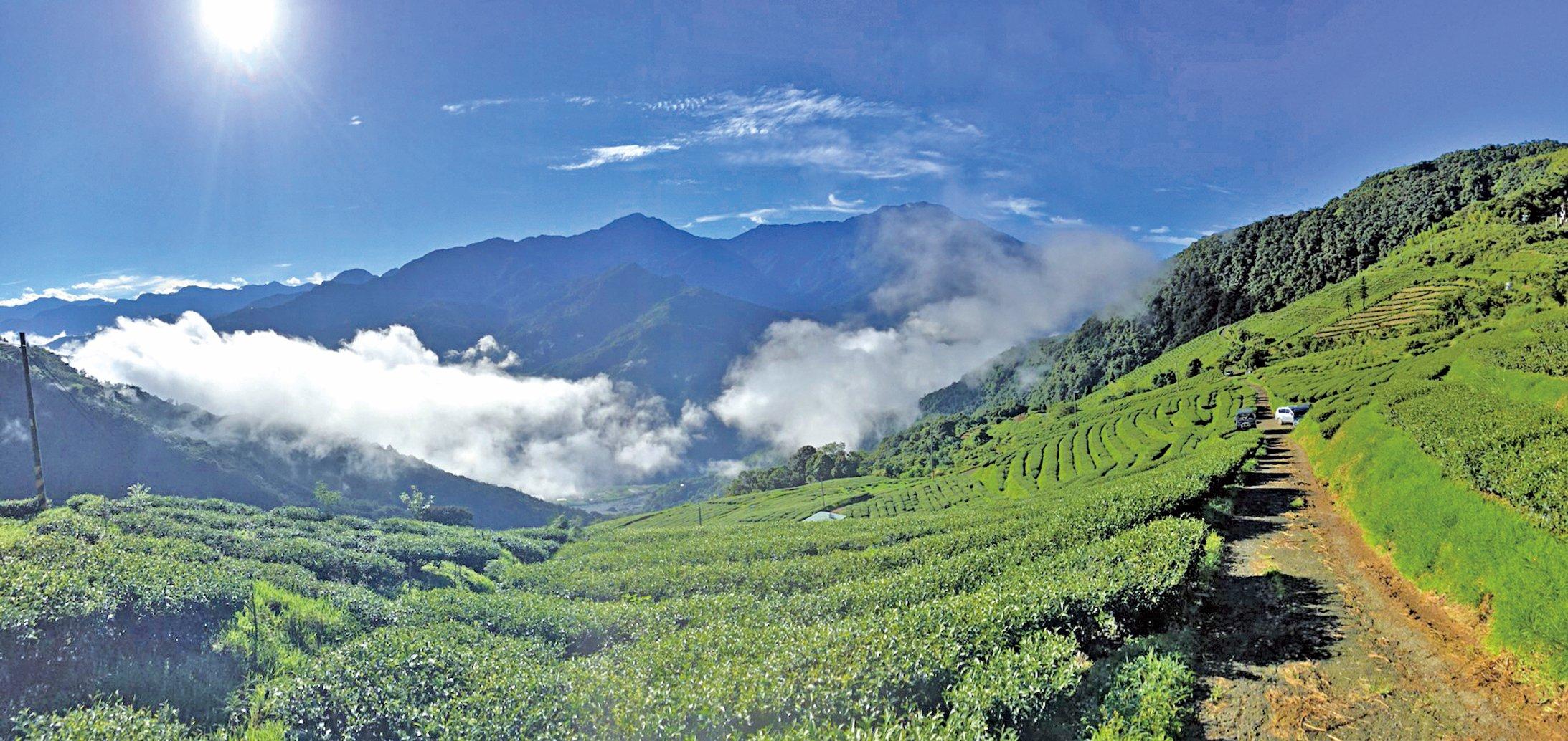 嘉義高山茶園依傍著層疊山巒,漫山遍野的茶樹叢碧綠耀眼。