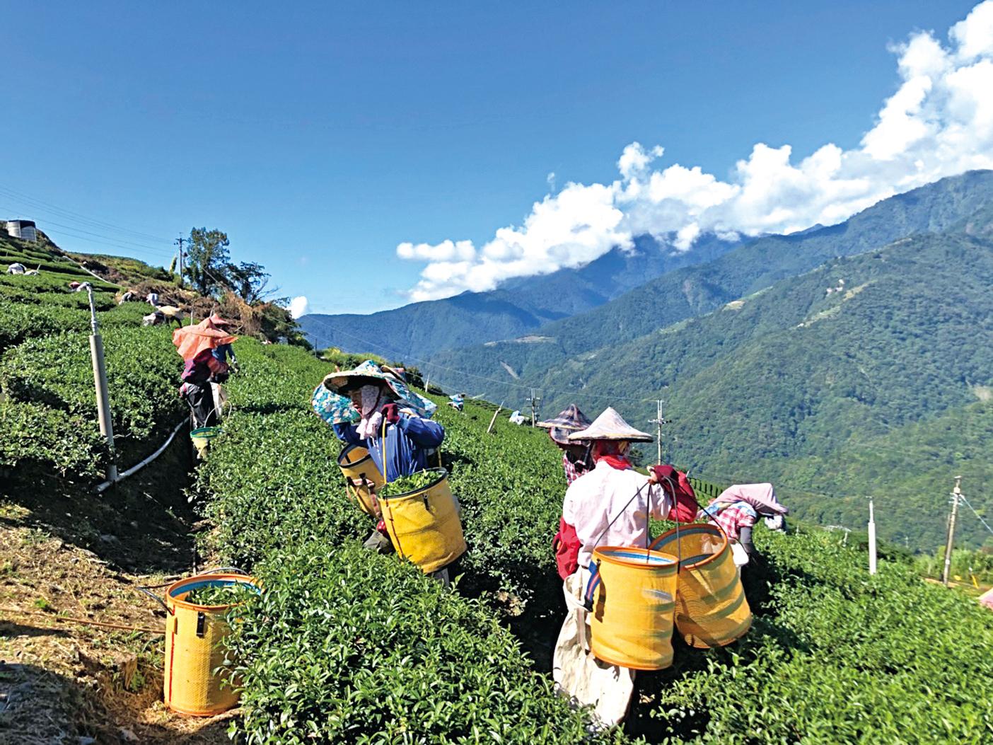 採茶農人辛勞身影在翠綠的茶樹間移動。