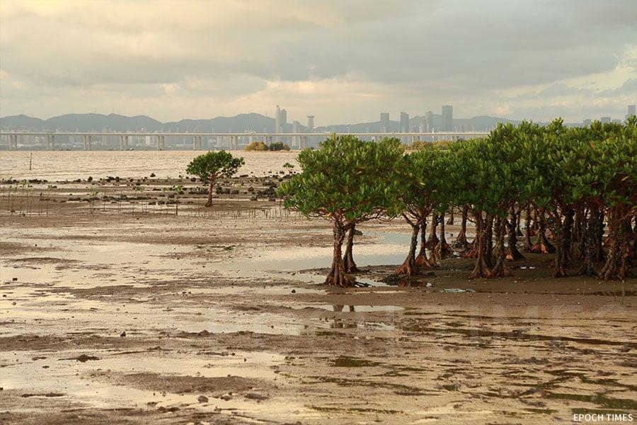 泥灘上的紅樹林。(陳仲明/大紀元)