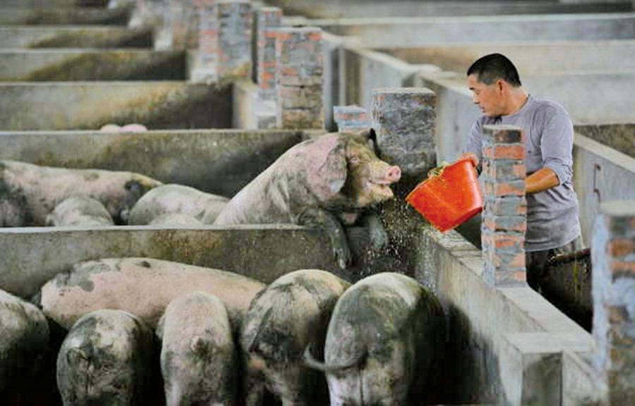 近美歐豬隻總和   中國2億頭豬死於非洲豬瘟