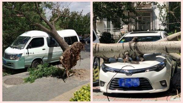 5月19日,北京的大風天氣導致多棵大樹被刮倒,砸壞多輛汽車。(微博圖片)