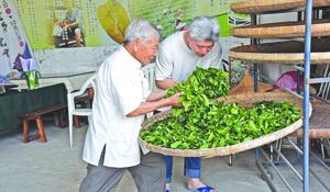 製茶列文化資產 茶師傳承凍頂茶香