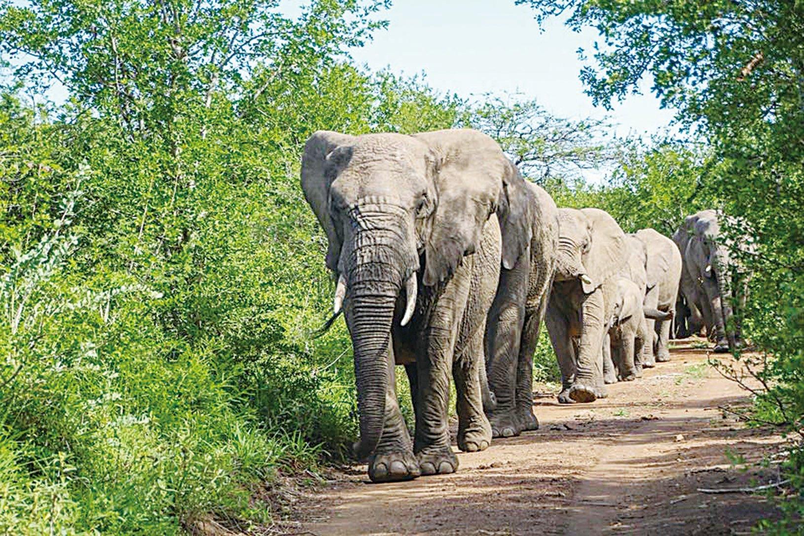 大象家族不惜辛苦徒步12小時,前往救命恩人生前家門前舉行哀悼儀式。牠們的恩人是全球知名動物保育家勞倫斯安東尼(Lawrence Anthony)。 (Thula Thula - Exclusive Private Game Reserve Facebook)