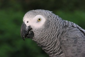 「目擊」凶殺現場 美檢方擬讓鸚鵡提供證據