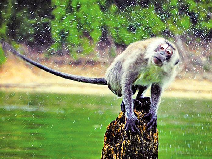 馬來西亞柏隆 貝魯姆雨林度假村,與長臂猿相見歡。