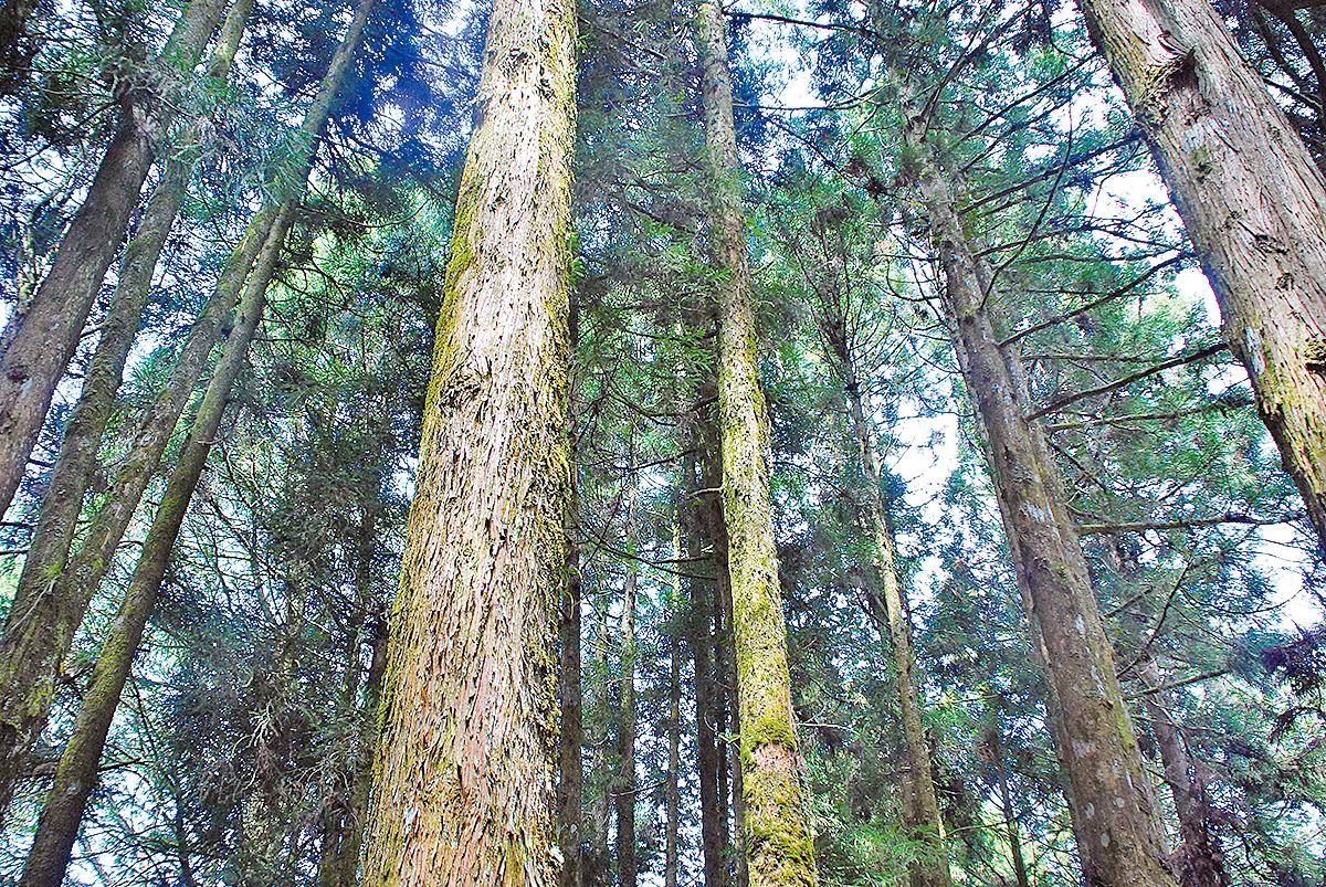 阿里山高大的巨木林