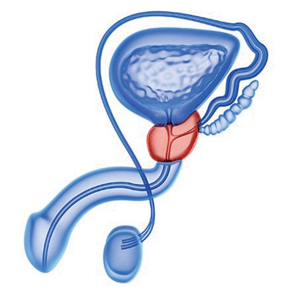 前列腺和男性生殖系統。