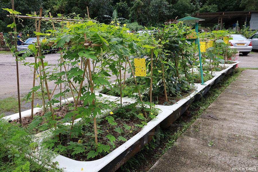 園藝農場中用廢棄浴缸作花盆,種植各類的蔬果,供小朋友認識。(陳仲明/大紀元)