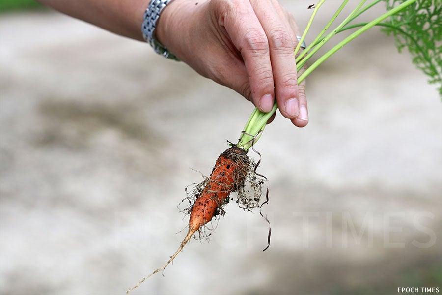 農場中種植的各類有機蔬果。(陳仲明/大紀元)