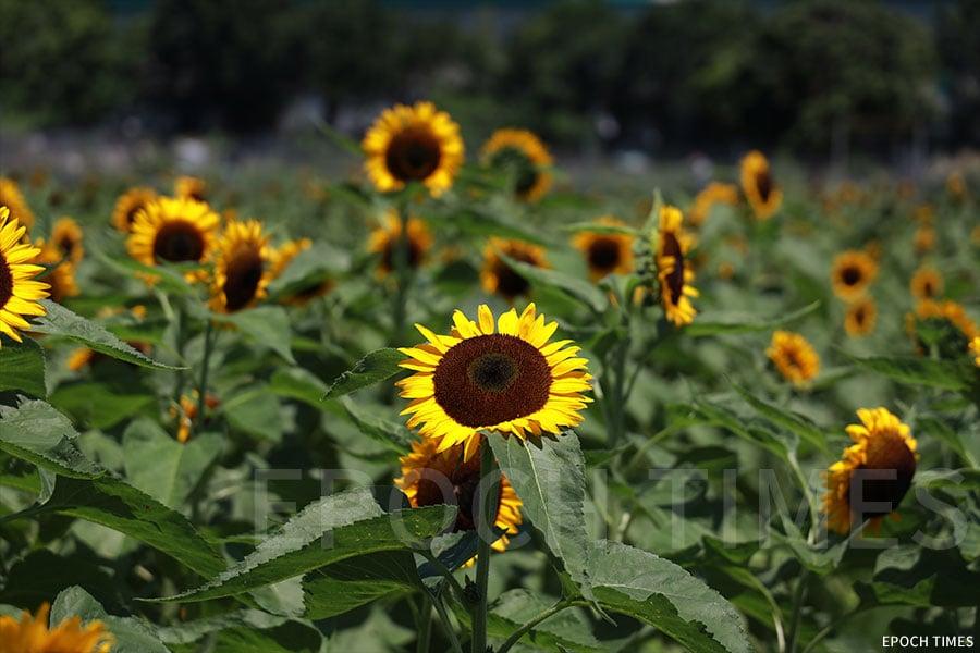盛開的「香吉士」向日葵。(陳仲明/大紀元)