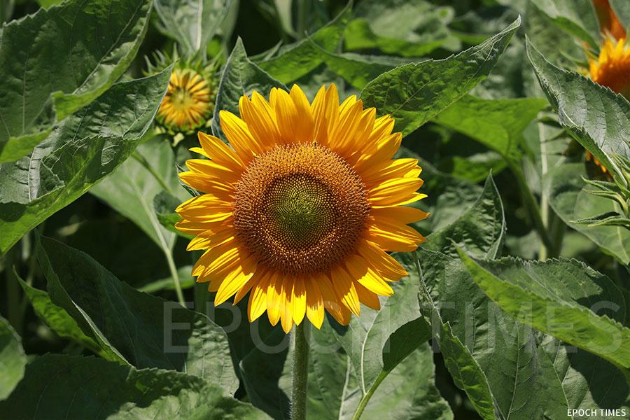 盛開的「華倫天奴」向日葵。(陳仲明/大紀元)