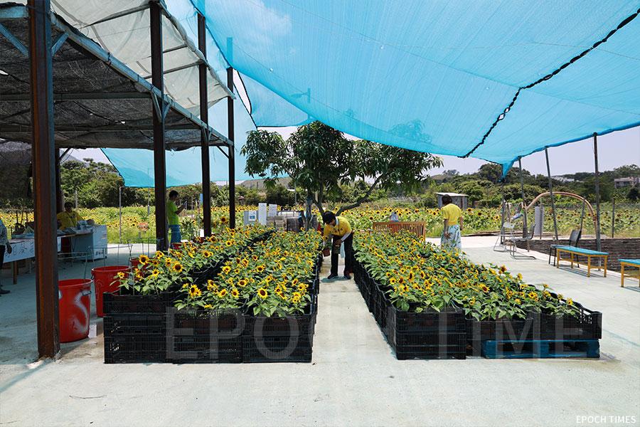 信芯園在花田之間架設了一個平台,上鋪設藍色的帳幕遮擋陽光,下有藍色木椅供人休憩。(陳仲明/大紀元)