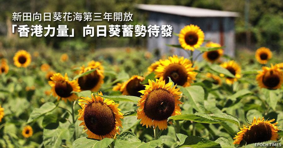 新田向日葵花海第三年開放 「香港力量」向日葵蓄勢待發