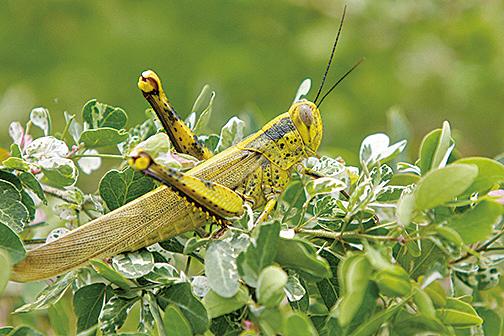 意大利薩丁尼亞島遭蝗蟲侵襲,其災情是70年來最嚴重的一次。(AFP)