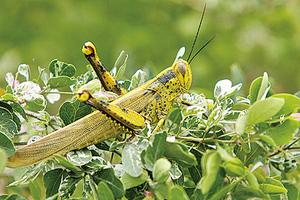 蝗蟲侵襲地中海第二大島 七十年來最嚴重