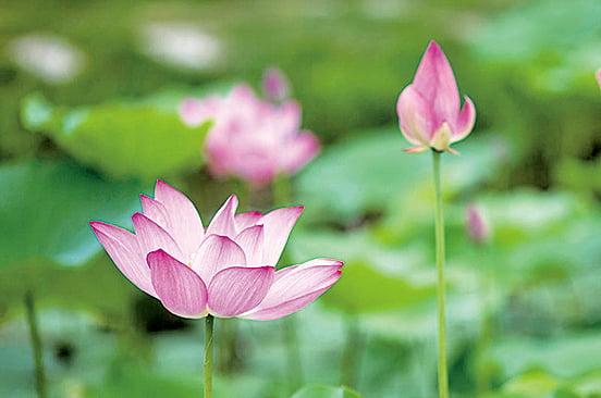 蓮花、荷花,異名同花(fotolia)