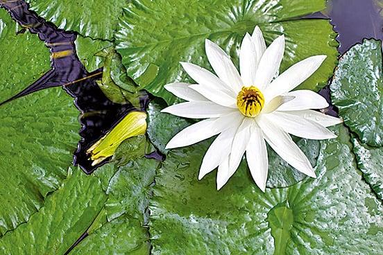 睡蓮和蓮花不同屬也不同科(fotolia)