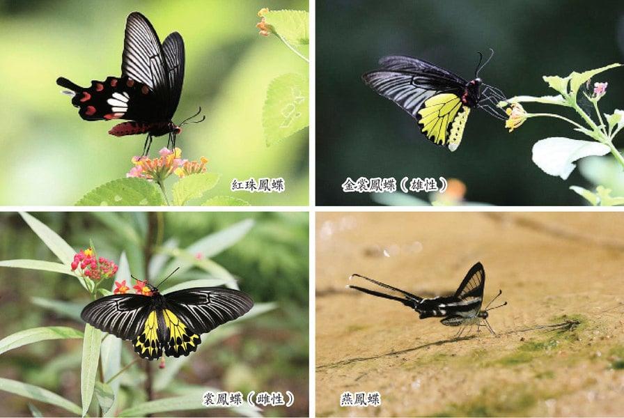 今日夏至 四種珍稀蝴蝶最活躍