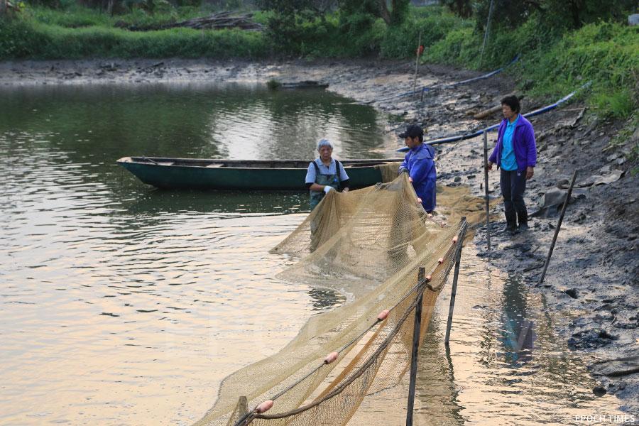 「刮魚」過程中逐步把漁網在水底對摺,塘魚便困在漁網中。拉網的過程也有講究,網的一端需事先用竹枝固定,再抬起網的上下兩邊,才能將魚「一網打盡」。(陳仲明/大紀元)