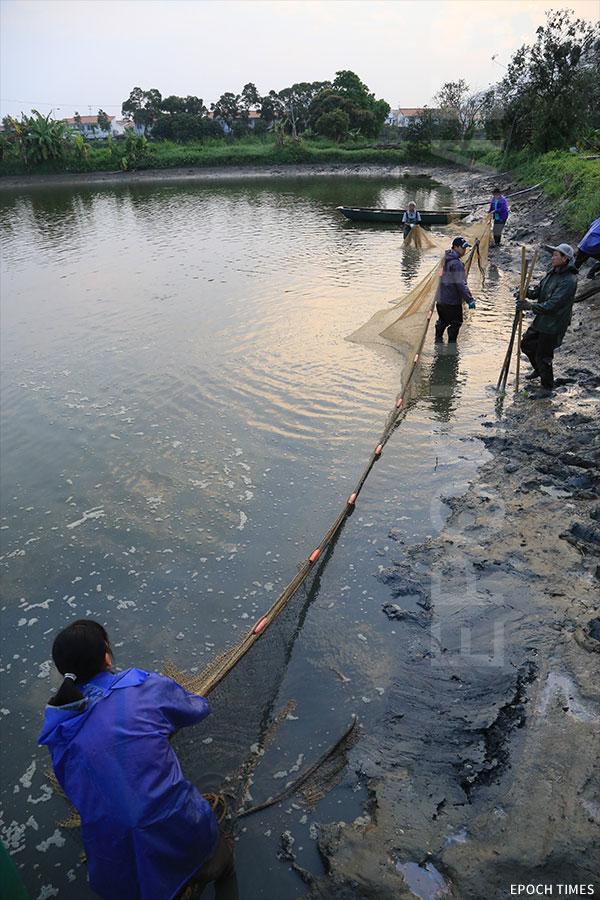 刮魚者合力拉網,慢慢縮窄範圍。(陳仲明/大紀元)