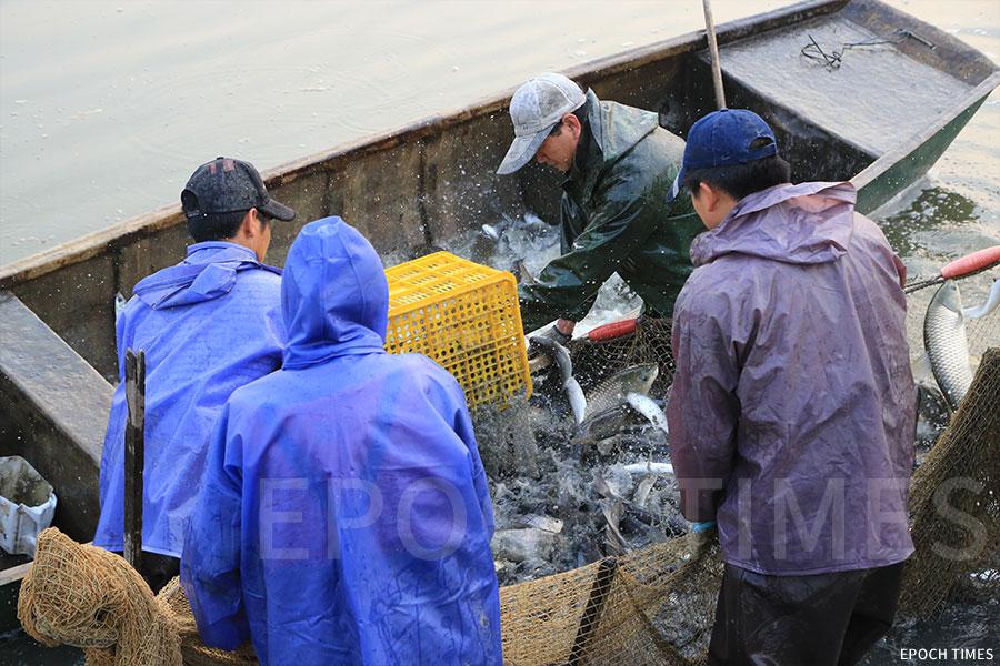捕撈上來的魚即刻投入載有冰及鹽水的小艇。(陳仲明/大紀元)
